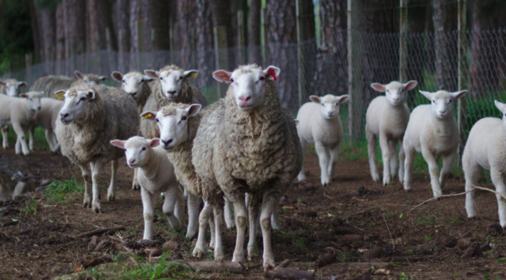 Image of sheep to illustrate an article about the history and usage of the word sheeple